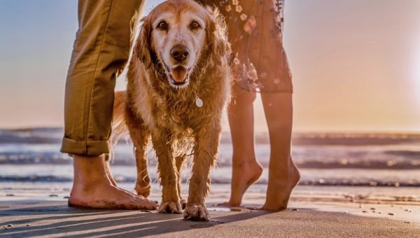 A happy dog on a beach at sunset by his owners' legs