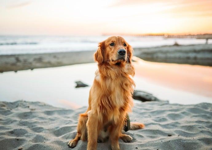 Fidèle Golden Retriever sur la plage