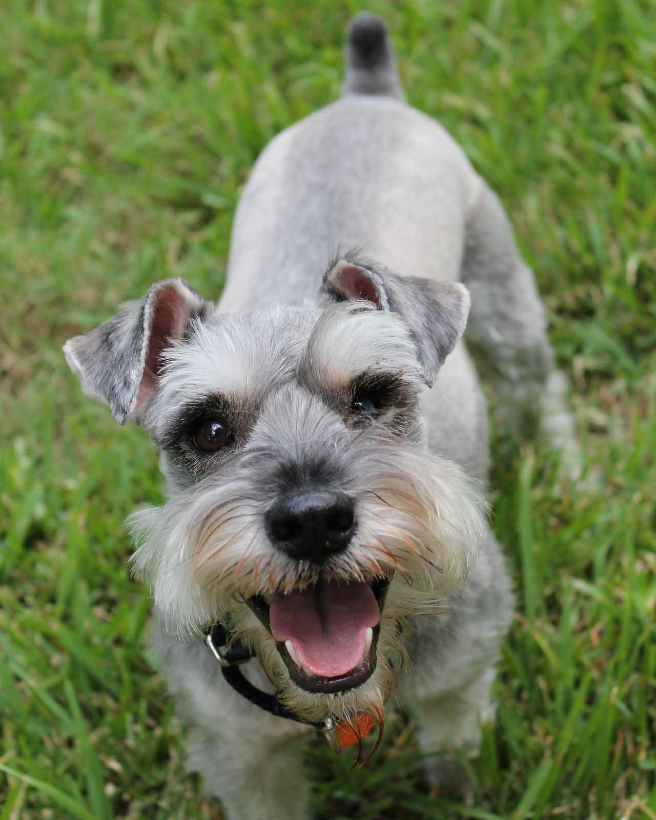 Smiling miniature schnauzer dog