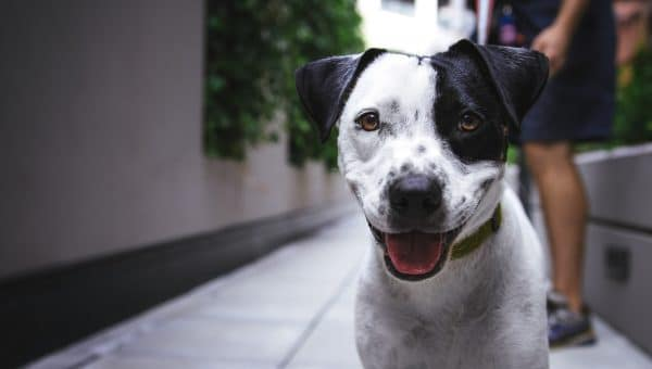 A black and white dog smiling at the camera.