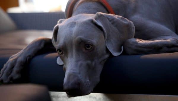 Det riktiga sättet att träna en hund med separationsångest