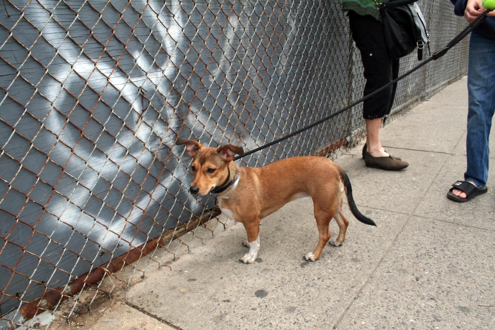 A small, mixed-breed dog on a leash walking along a sidewalk.