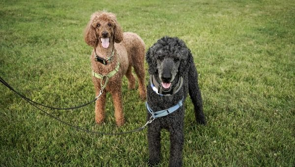Breed Profile: An Essential Guide to Standard Poodles
