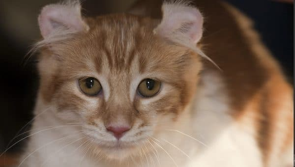 8 Facts You Probably Don't Know About American Curl Cats