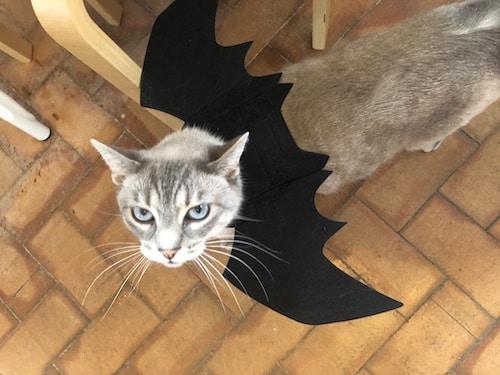 Cat in bat costume