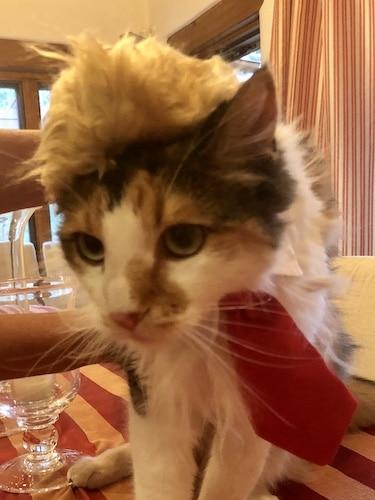 Cat in Trump costume