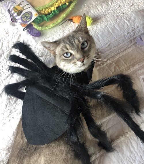 Cat in spider costume