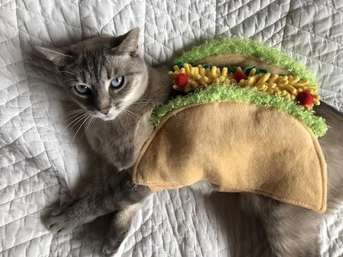 Cat wearing taco costume