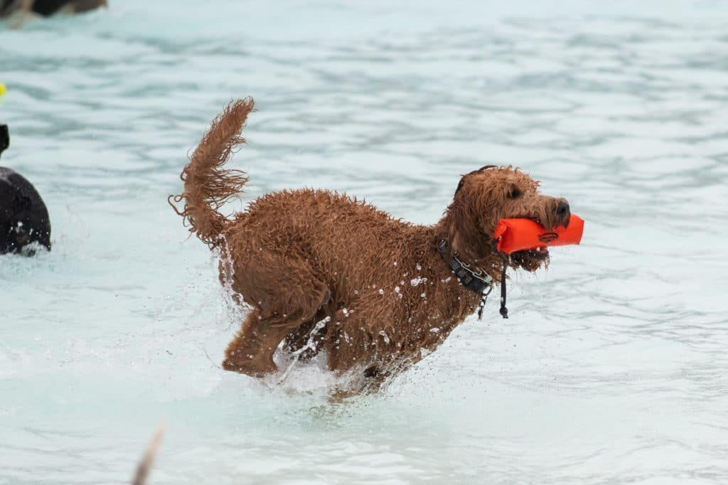 Labradoodle swimming in a pool with a water toy