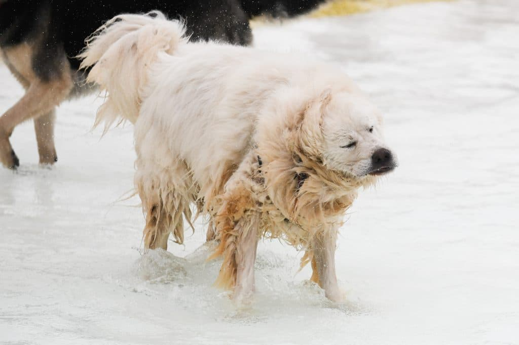 shaggy white dog shaking off water from the pool