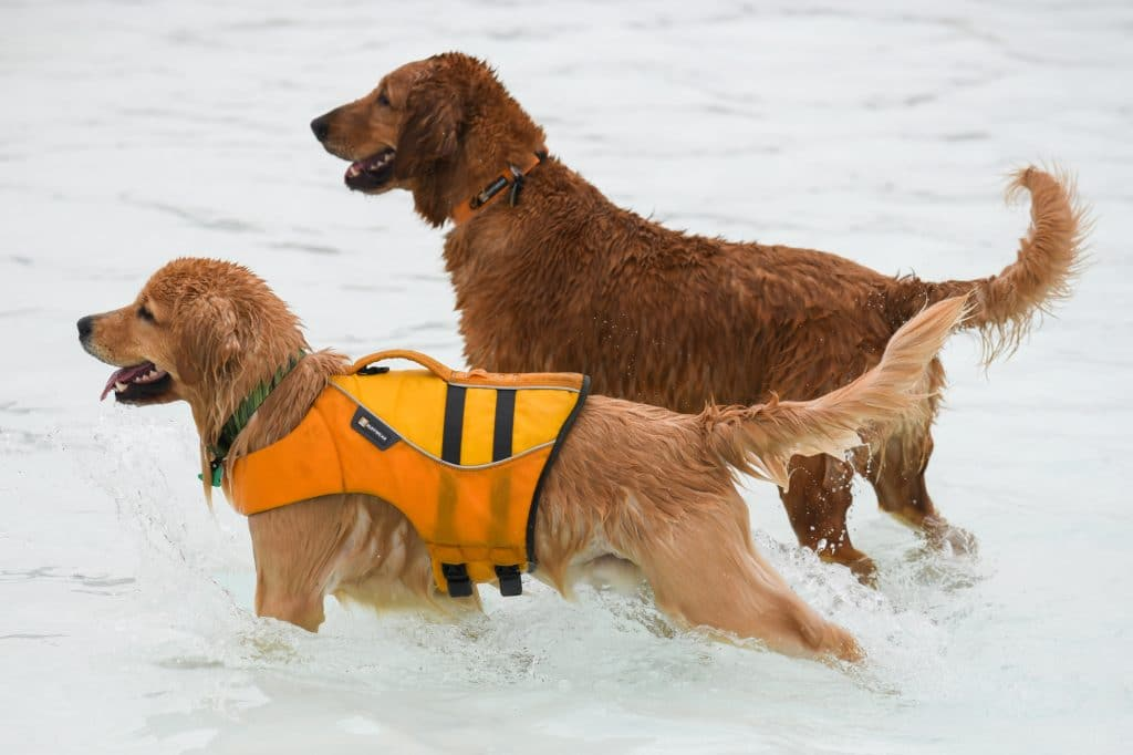 Labrador retrievers swimming with a lifejacket at a pool