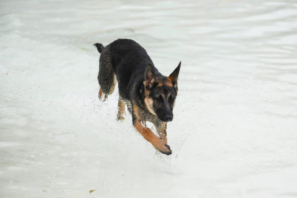 German shepherd swimming in a pool at a water park for dogs