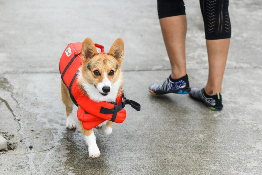 corgi swimming in a life jacket at a water park