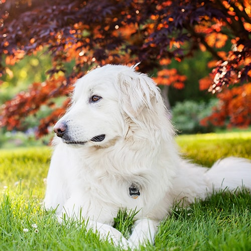great pyrenees are herding dogs that look like bears