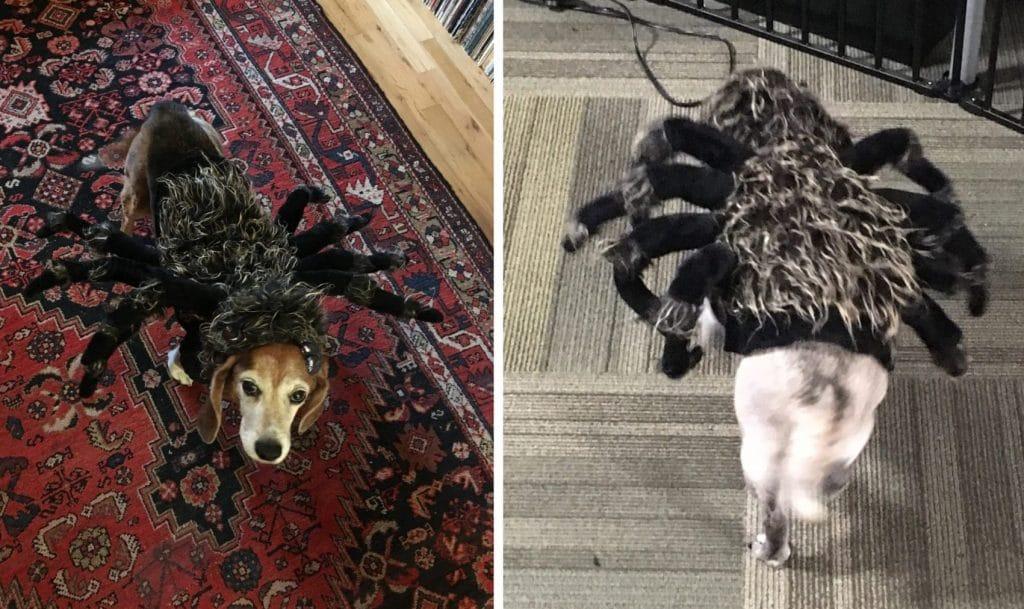 Tarantula costume on Beagle and Pug