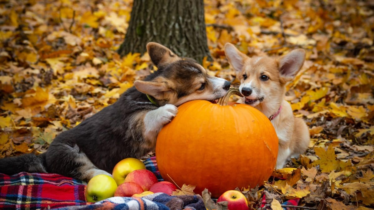 switch pumpkin for dogs
