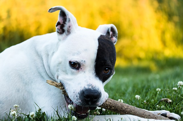 American Staffordshire Terrier- Pixabay