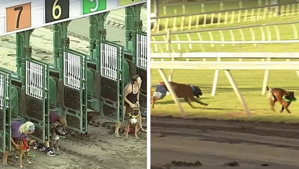 Boxer Dog Charity Race Goes Exactly as Ridiculously as You'd Expect [Video]