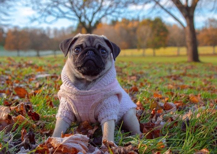 Carlin avec manteau pour éviter le rhume