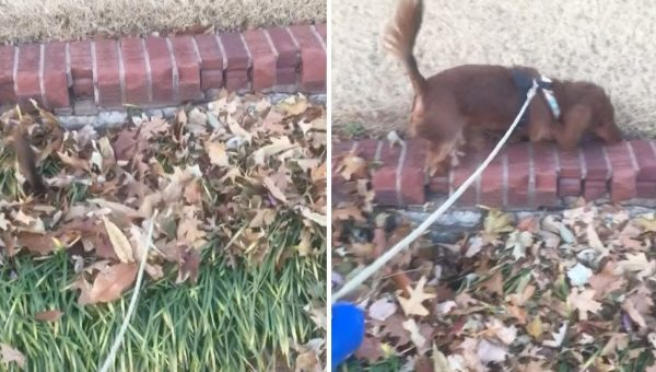 This Dachshund Is Having a Blast Playing in the Leaves (But All You Can See Is His Tail) [Video]
