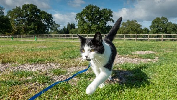 How to Train Your Cat to Walk on a Leash: A Comprehensive Guide