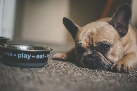 French bulldog lying down by dog food bowl