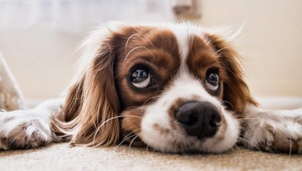 Dog pee smell out of carpet cover image