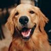A smiling golden retriever