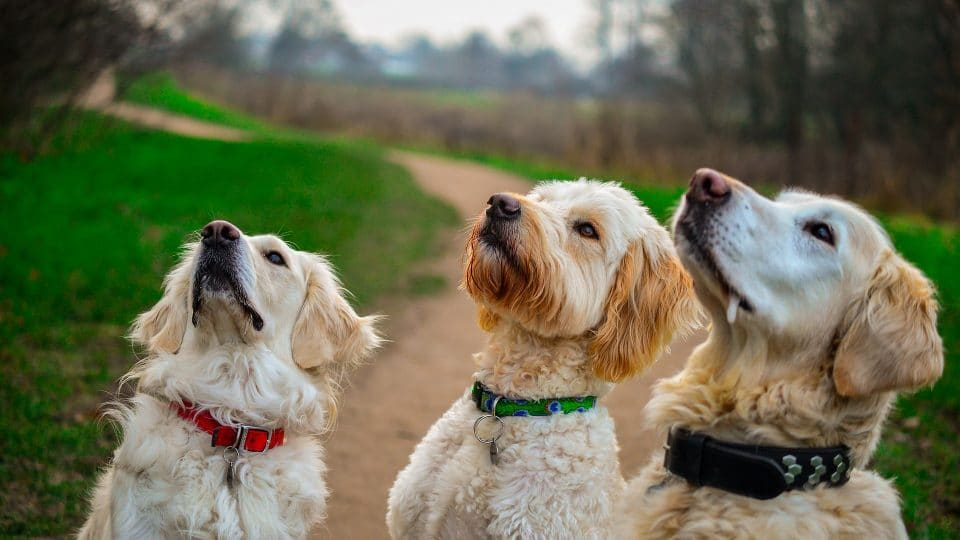 Golden Retriever Vs Goldendoodle Whats The Difference