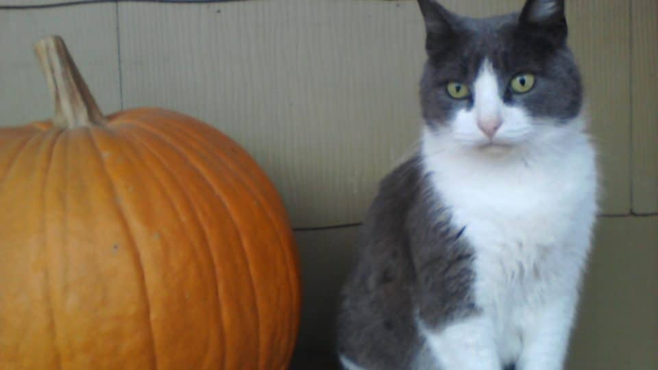 Can Cats Eat Pumpkin? | The Dog People by Rover com
