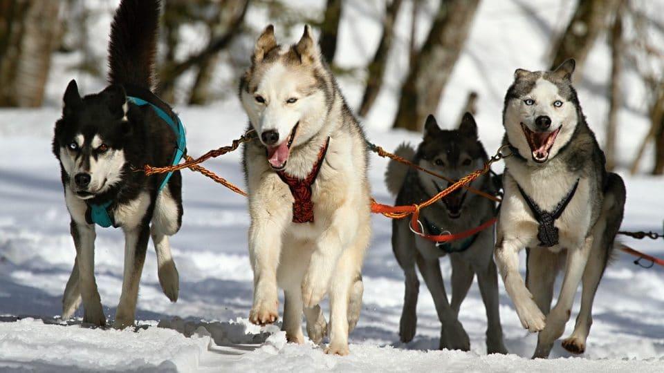 Sled Dog Team- Pixabay