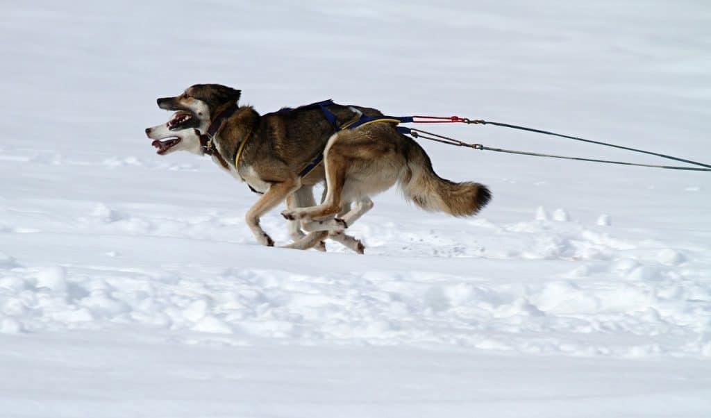 Sled dogs- Pixabay