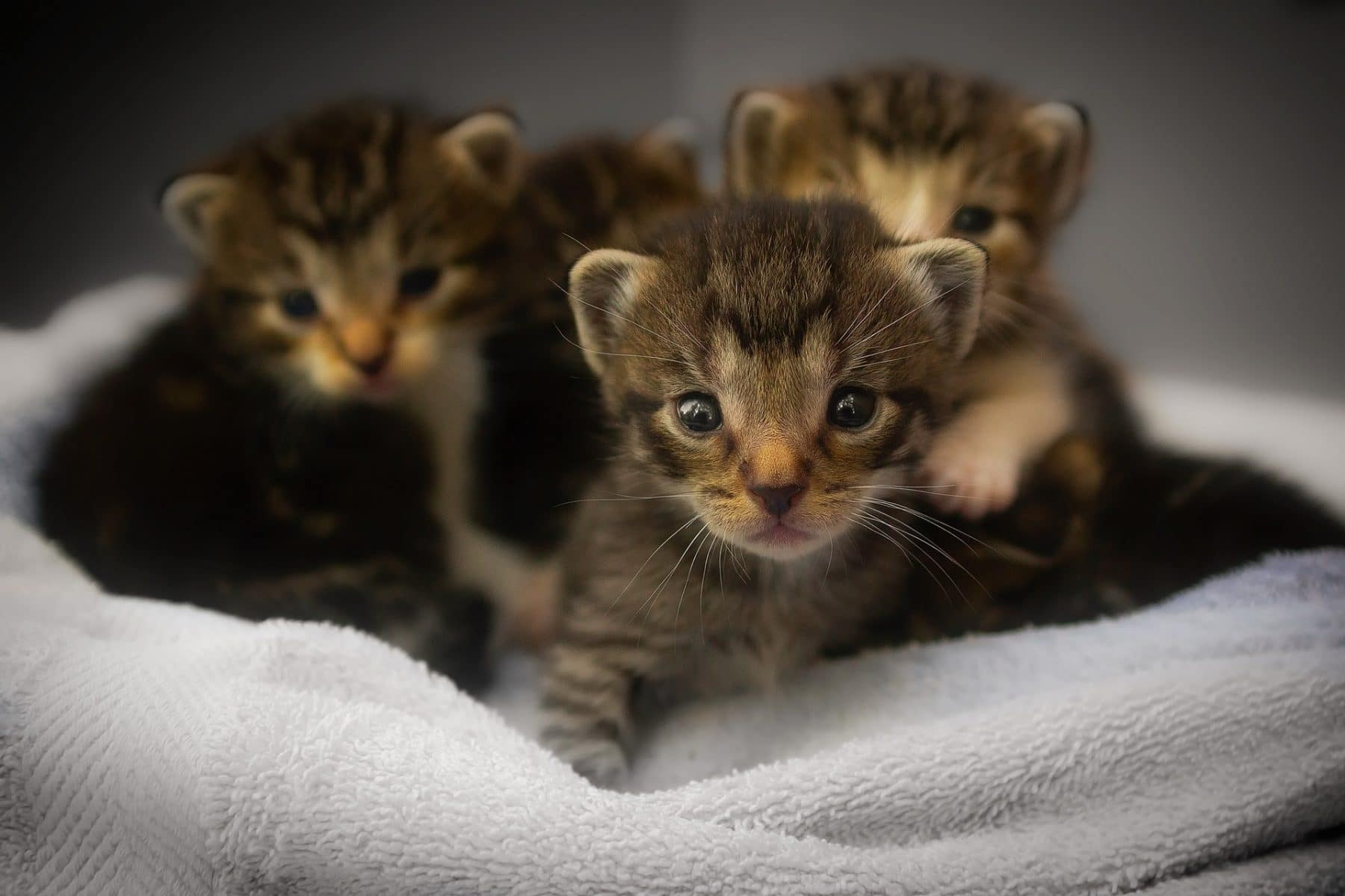 How To Tell How Old A Kitten Is Why It Matters For Cat Health