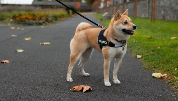 11 japanska hundraser du måste träffa