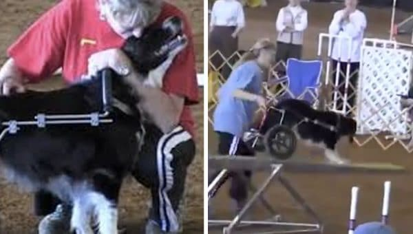 Truly Inspirational Agility Champion Doesn't Let Wheelchair Slow Her Down [Video]