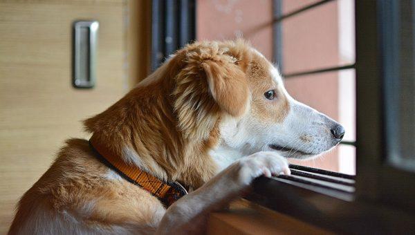 Dog Calming Pheromones: Do They Really Work?