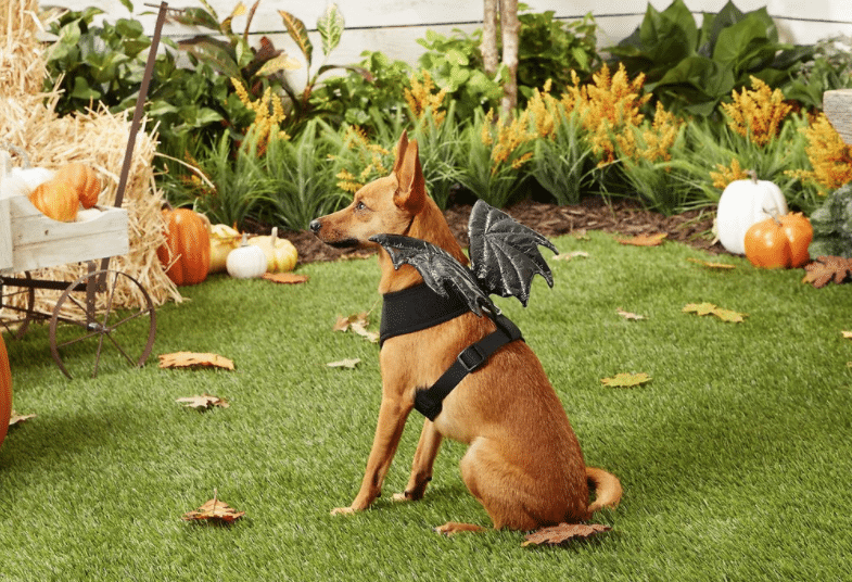 dog in harness with black dragon wings