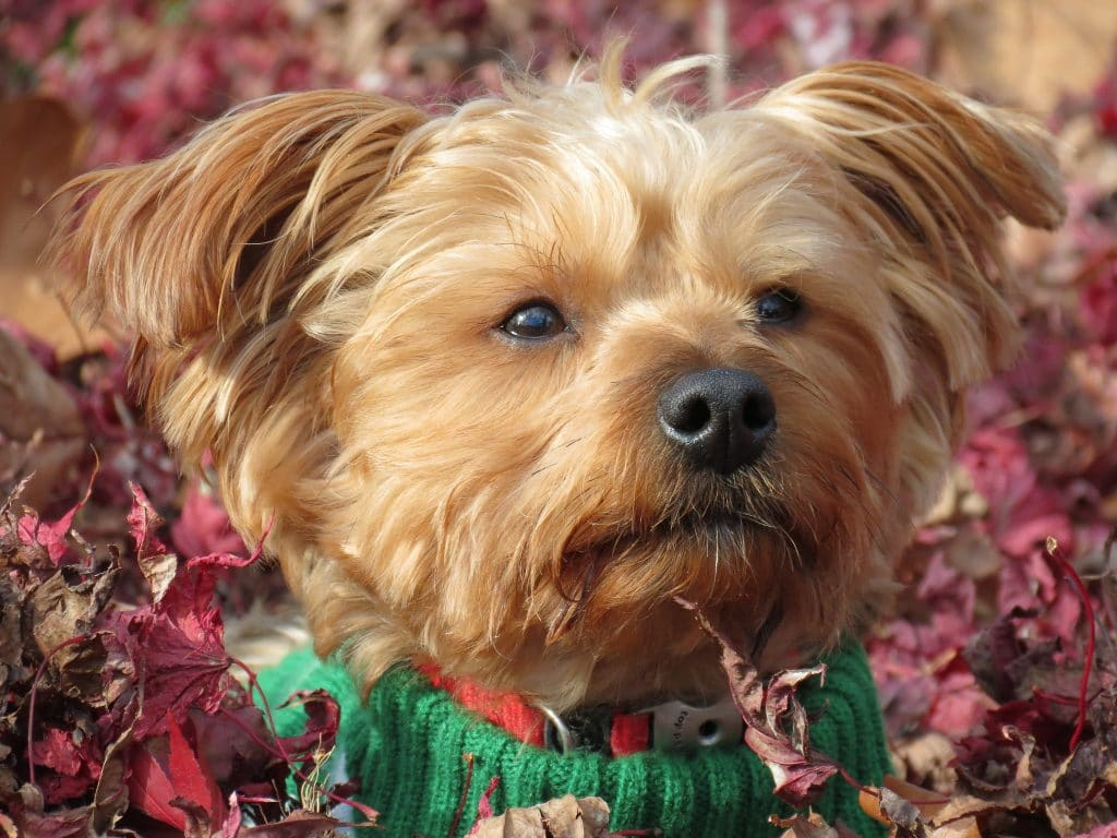 Essential Facts On The Maltese Yorkie
