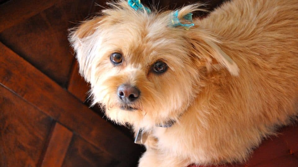 Shorkie Dogs: Fun Facts, History and How To Get One