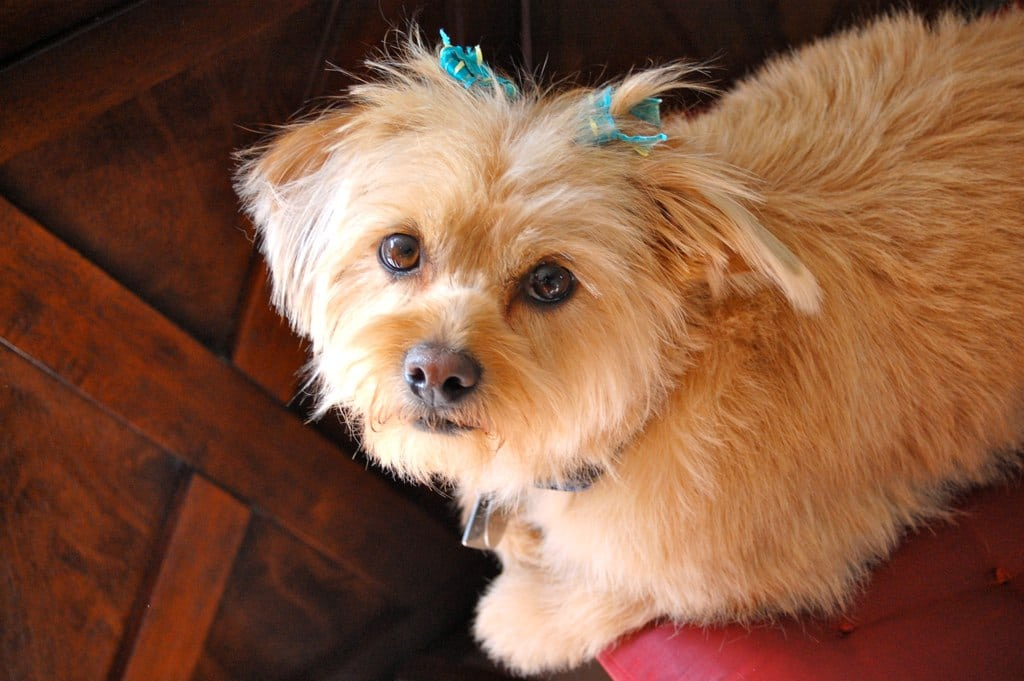 Shorkie Dogs Fun Facts History And How To Get One