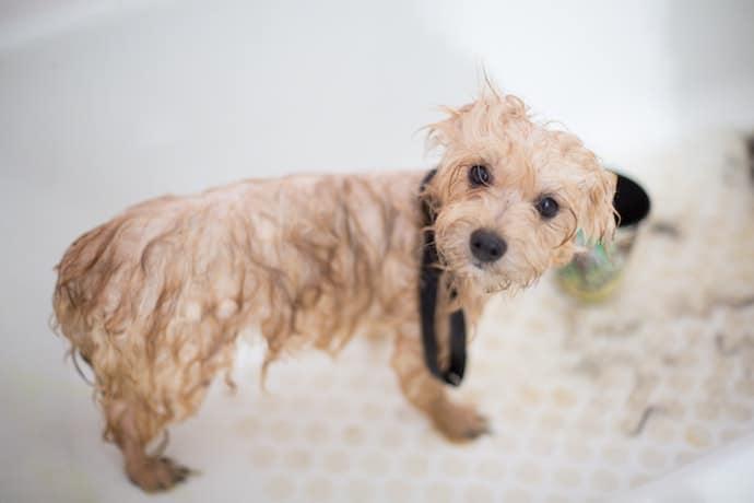 chien sale en train de prendre un bain