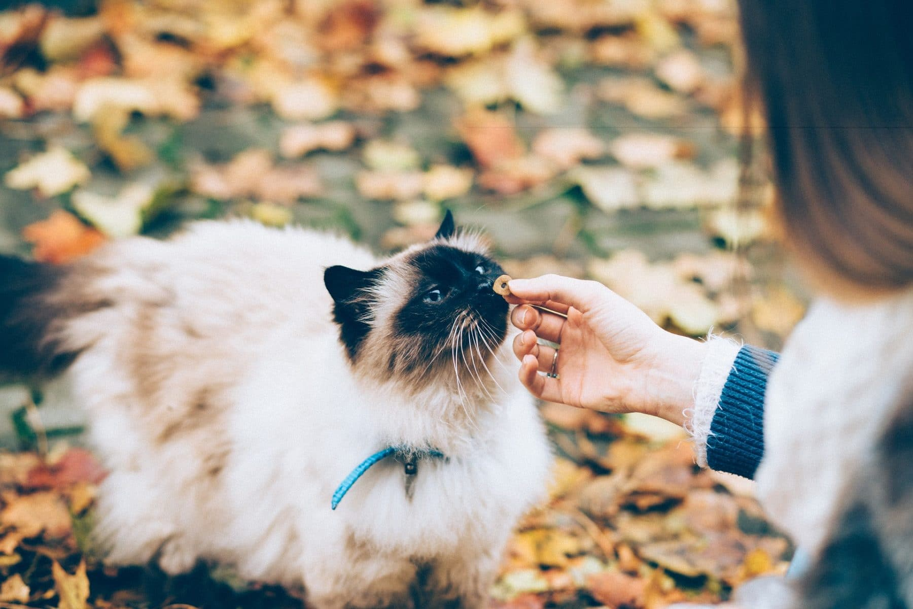 Cat eating a treat in autumn