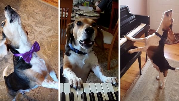 Case of the Mondays? This Piano Playing Beagle and Dancing Toddler Video Is Here to Cheer You up [Video]