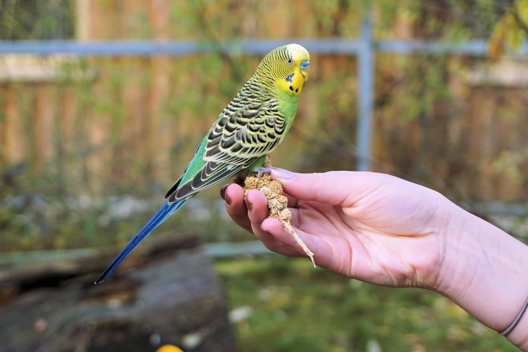 145 Best Bird Names For Budgies Parrots Cockatoos And More
