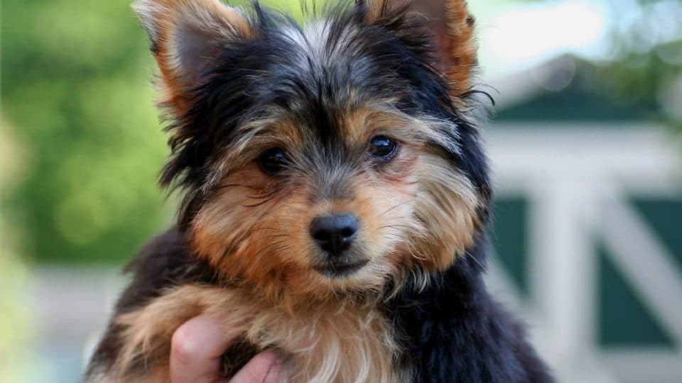 Chorkie Dog Profile The Complete Chihuahua Yorkie Mix Guide
