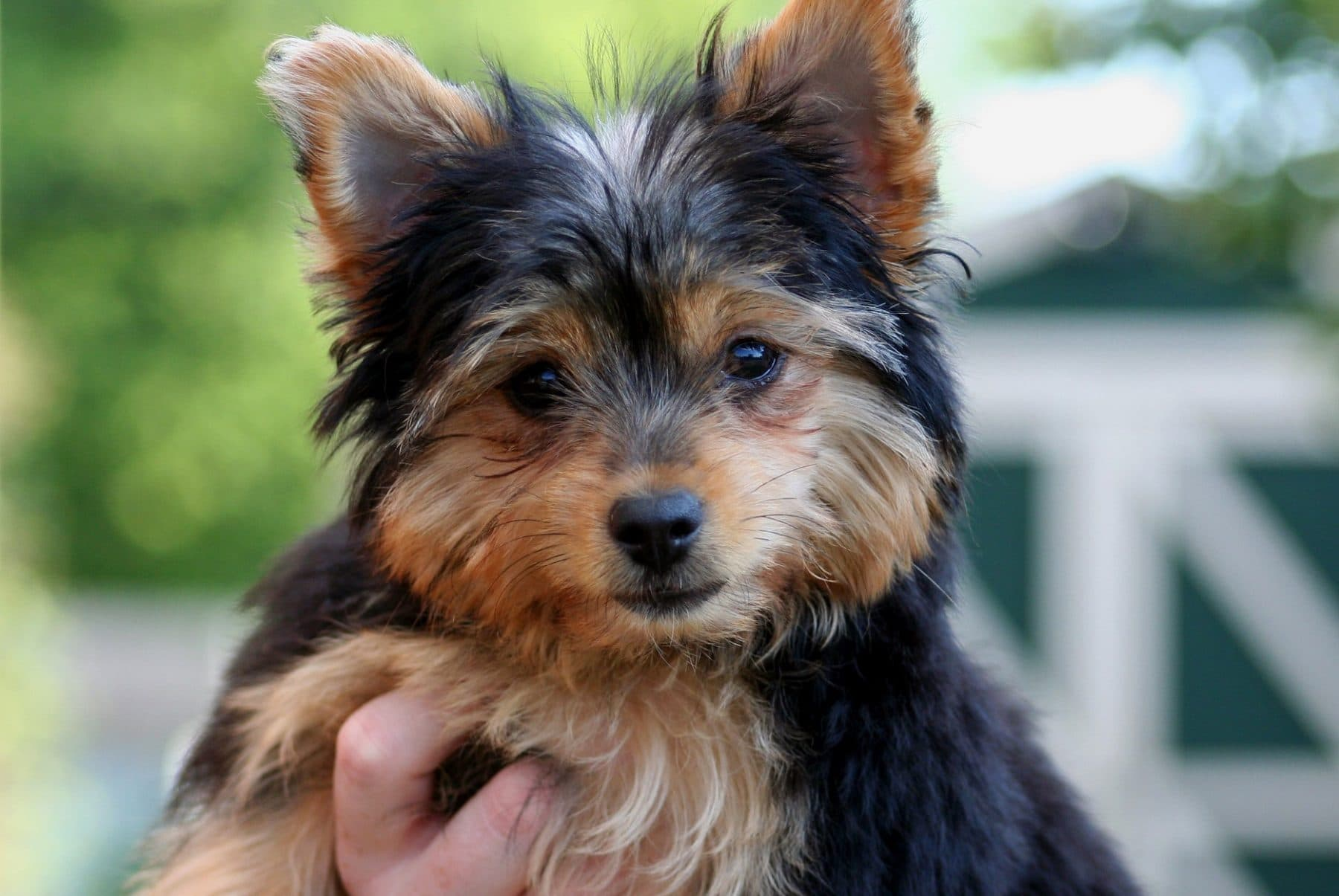The Complete Chihuahua Yorkie Mix Guide