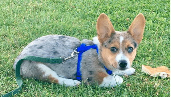 8 Things Only Cowboy Corgi Owners Know
