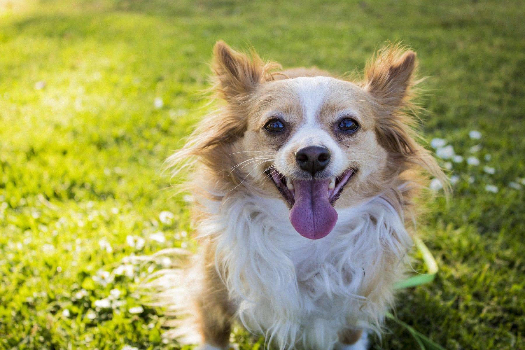 Long Haired Chihuahua Hair Cuts: A Guide to Grooming with