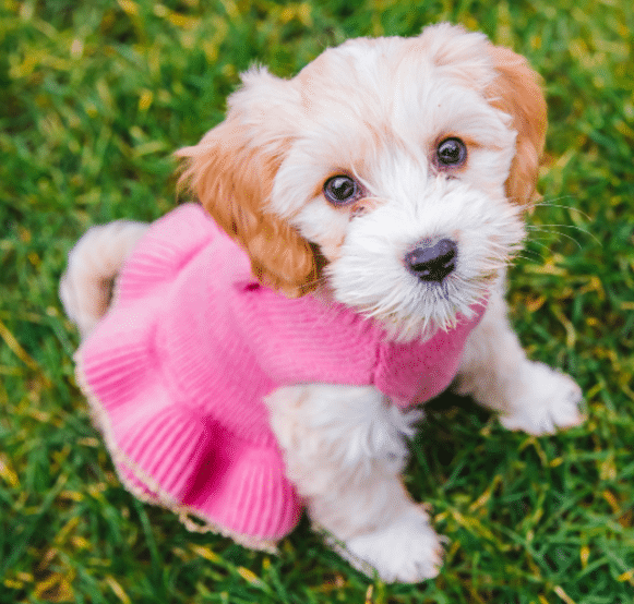 A cute puppy sits in grass in a sweater dress