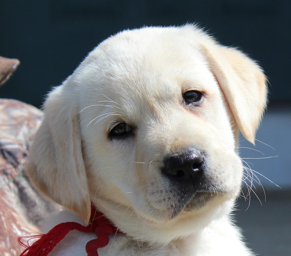 A cute lab puppy stares soulfully into the camera